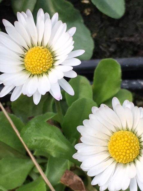 common daisy seed packet 0 2g bellis perennis approx 1200 seeds