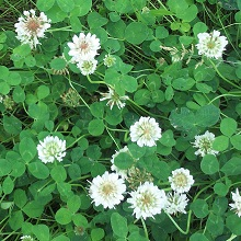 Grass flower seed - Trifolium repens white clover Dutch ... |White Clover Plant