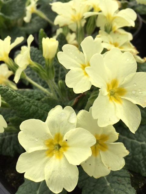 Wild Primrose Plugs Primula Vulgaris Uk Delivery Naturescape