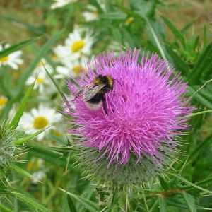 thistle + bee close-up1