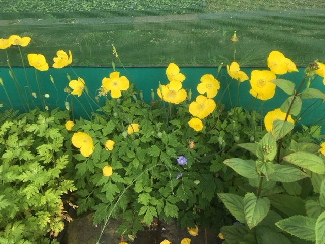 Welsh Poppy Seed Packet 0 2g (Meconopsis cambrica) (approx 800 seeds)