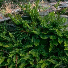 CommonPolypody.jpg