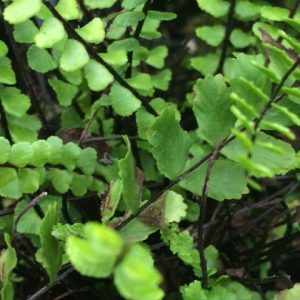 maidenhair1