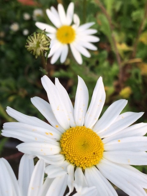 Oxeye Daisy Plugs Leucanthemum Vulgare Uk Delivery Naturescape