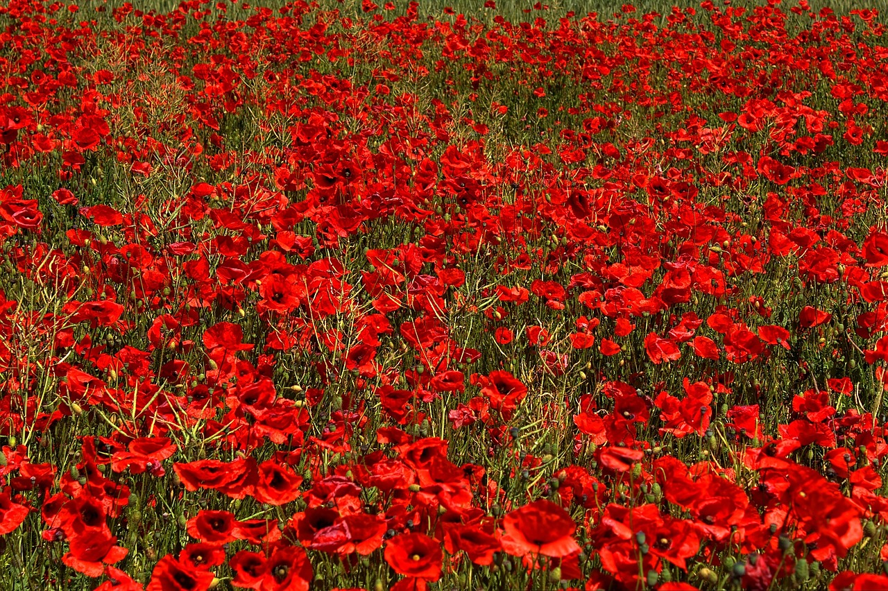 Corn Poppy plugs (Papaver rhoeas) Dispatched in September 2019