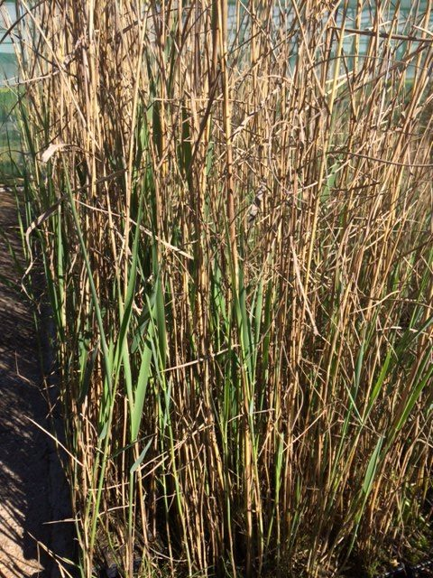 Common Reed 9cm pots: (Phragmites australis) Dispatched March 2019 - Common Reed 9cm Pots: (Phragmites Australis) Dispatched March 2019
