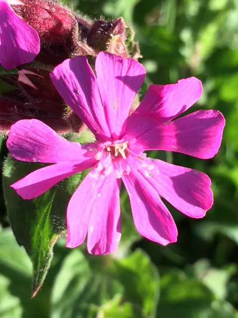 Red campion plugs silene dioica uk delivery naturescape red campion plugs silene dioica mightylinksfo