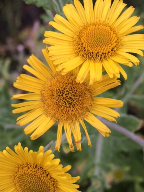 Common Fleabane Superplugs Pulicaria Dysenterica Uk Delivery